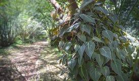 在树干的藤与迷离大象在背景的蕨机盖 天鹅绒叶子爱树木的人或爱树木的人micans为它的伊伦知道 免版税库存图片