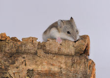 在树干的西伯利亚仓鼠 图库摄影