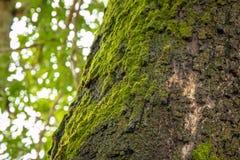 在树干的青苔 免版税图库摄影