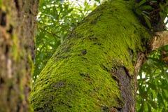 在树干的青苔 库存图片