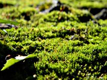 在树干的鲜绿色的青苔 可看见在青苔的所有微粒在明亮的光芒 库存照片