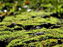 在树干的鲜绿色的青苔 可看见在青苔的所有微粒在明亮的光芒 免版税库存图片