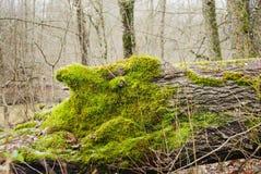 在树干的绿色青苔 免版税库存照片