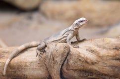在树干的Chuckwalla蜥蜴 库存图片