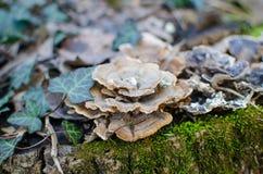 在树干种植的狂放的蘑菇 免版税库存图片