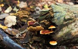 在树干,晚秋天的蘑菇 库存照片