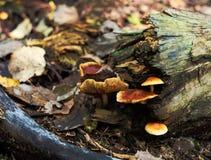 在树干,晚秋天的蘑菇 免版税库存照片