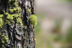 在树干3的绿色青苔 免版税库存图片