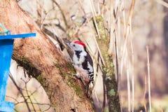 在树干(Dendrocopos少校)的红头发人啄木鸟 免版税库存图片