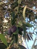 在树成熟的橄榄 苹果庭院地面收获成熟时间结构树 库存图片