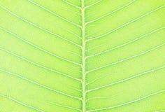 在树新鲜的绿色叶子的特写镜头表面抽象样式构造了背景 免版税库存照片