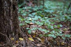 在树旁边采蘑菇在森林里在秋天 库存照片