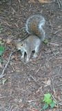 在树木园诺丁汉英国的灰鼠 图库摄影