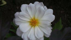 在树木园诺丁汉英国的白花 库存照片