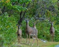 在树木繁茂的清洁的鹿家庭由石渣路 免版税库存图片