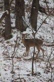 在树木繁茂的设置的鹿 图库摄影