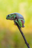 在树束边缘的青蛙 图库摄影