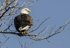 在树枝上面的一只老鹰 免版税库存照片
