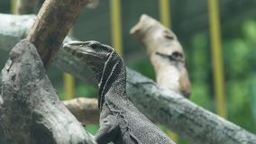 在树枝关闭的监控蜥蜴 龙varan在野生动物园中 爬行动物,狂放的自然 通配的动物 股票视频