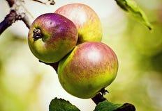 在树枝关闭的红色苹果 库存照片