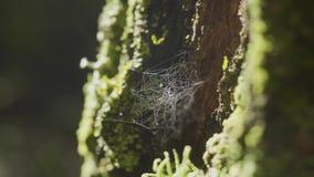 在树枝和太阳反射上的蜘蛛网 蜘蛛在树干上的` s网 在树皮上的网与青苔和太阳 影视素材