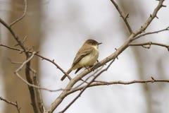 在树枝栖息的东部phoebe 图库摄影