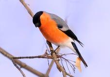 在树枝栖息的五颜六色的红腹灰雀 库存图片