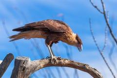 在树枝栖息的有顶饰长腿兀鹰 免版税库存照片
