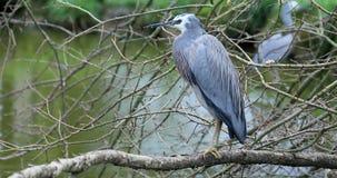 在树枝栖息的面无血色的苍鹭在河 影视素材