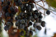 在树枝特写镜头的太熟黑橄榄 图库摄影