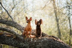 在树枝的一条狗 小的玩具狗 图库摄影