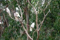 在树枝的三只白色大美冠鹦鹉鸟 图库摄影