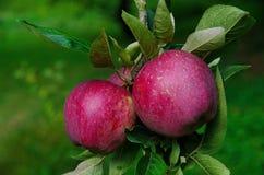 在树枝的两个annurca的苹果 免版税图库摄影