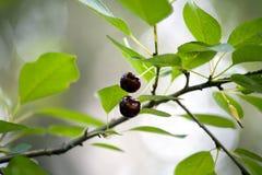 在树枝的两棵红色樱桃 库存图片
