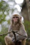 在树枝的中国短尾猿 免版税库存图片