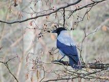 在树枝的乌鸦鸟 库存图片