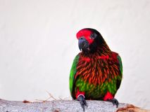 在树枝的五颜六色的Lorikeet鸟在鸟舍 图库摄影