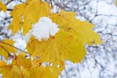 在树枝的前片叶子与对此的雪采撷 库存图片
