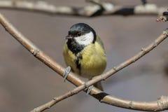 在树枝的北美山雀 免版税库存照片