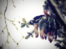 在树枝的啄木鸟鸟 库存图片