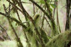 在树枝的地衣 免版税库存照片