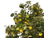 在树枝的大成熟柑橘 免版税库存图片