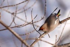 在树枝的太平鸟 图库摄影