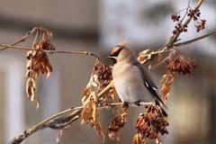 在树枝的太平鸟 库存照片