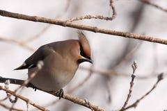 在树枝的太平鸟 免版税图库摄影
