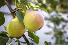 在树枝的开胃成熟梨 免版税库存照片