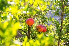 在树枝的成熟五颜六色的石榴果子 免版税库存图片