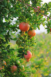 在树枝的成熟五颜六色的石榴果子。在背景的叶子 免版税库存图片