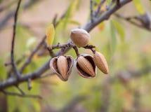 在树枝的成熟杏仁 免版税图库摄影