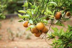 在树枝的成熟桔子没有杀虫剂 图库摄影